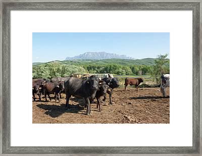 Buffalo Grazing In A Field. Campania, Italy, Europe Framed Print