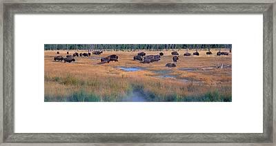 Buffalo Grazing, Yellowstone National Framed Print