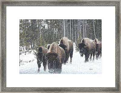 Buffalo Herd Emerges From The Snowy Yellowstone Mist Framed Print