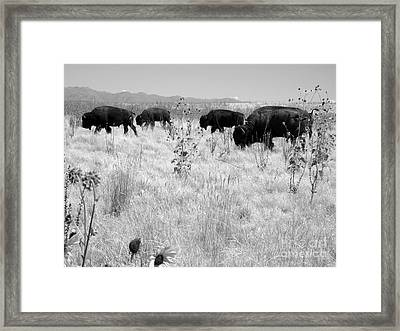 Buffalo Herd Framed Print by Lisa Schafer