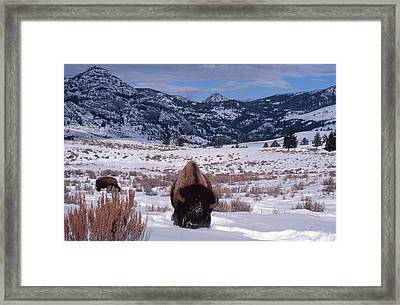 Framed Print featuring the photograph Buffalo In The Rockies by Edward R Wisell