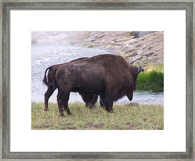 Buffalo Love Framed Print by Debbie Hall