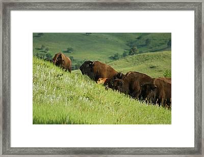 Buffalo On Hillside Framed Print