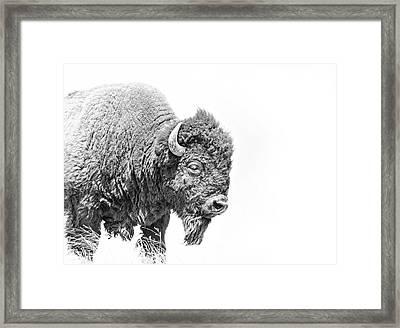 Buffalo Portrait Black And White Framed Print