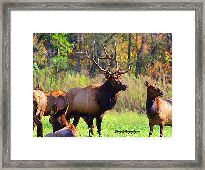 Buffalo River Elk Framed Print