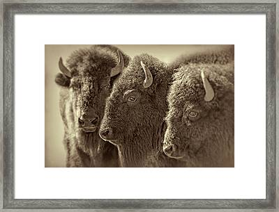 Framed Print featuring the photograph Trio American Bison Sepia Brown by Jennie Marie Schell