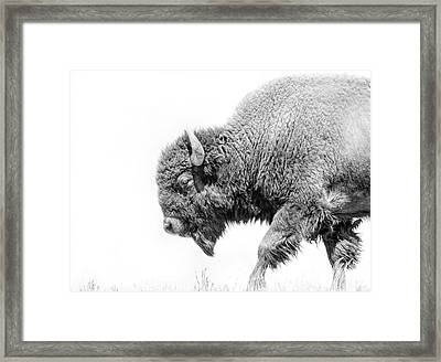 Buffalo Walk Black And White Framed Print