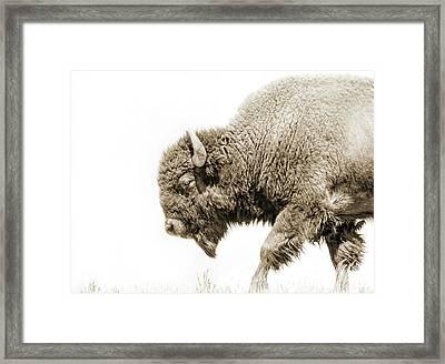Buffalo Walk Sepia  Framed Print