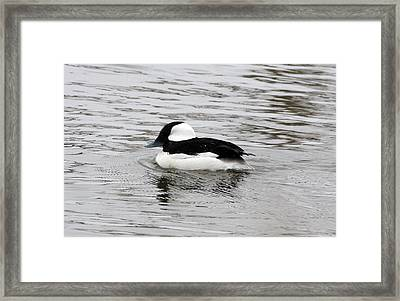 Bufflehead Duck - 0001 Framed Print