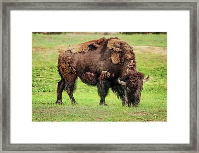 Buffler Framed Print