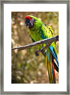 Buffon's Macaw Framed Print by Mike Martin