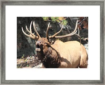 Bugling Bull Framed Print