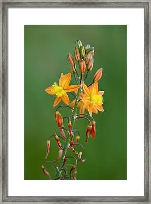 Bulbine Frutescens Framed Print by Yuri Peress