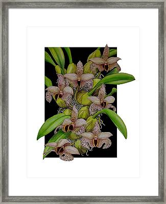 Bulbophyllum Sumatranum Framed Print by Darren James Sturrock