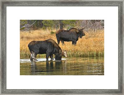 Bull And Cow Framed Print