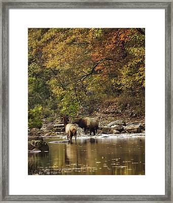 Bull And Cow Elk In Buffalo River Crossing Framed Print