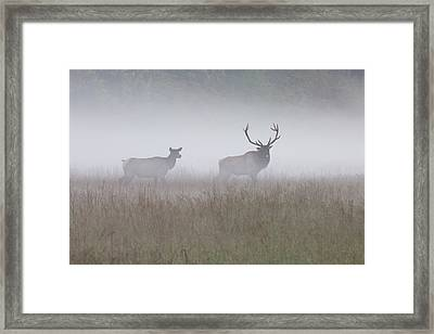 Bull And Cow Elk In Fog - September 30 2016 Framed Print