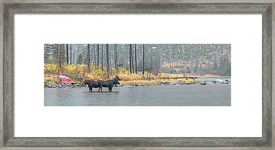 Bull And Cow Moose In East Rosebud Lake Montana Framed Print
