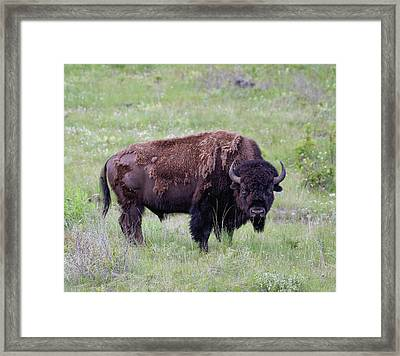 Bull Bison Starring Into The Camera Framed Print