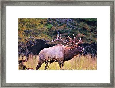 Bull Calling His Herd Framed Print