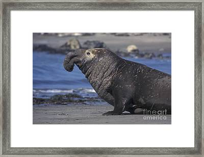 Bull Elephant Seal Framed Print by Stan and Anne Foster
