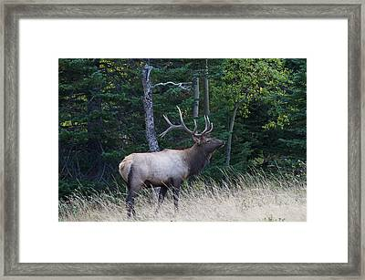Framed Print featuring the photograph Bull Elk 2 by Aaron Spong