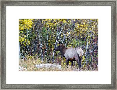 Framed Print featuring the photograph Bull Elk by Aaron Spong