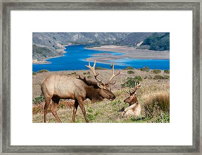 Bull Elk Above Tomales Bay Framed Print