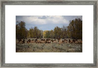 Bull Elk And Harem Framed Print