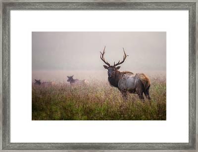 Bull Elk And His Harem Framed Print