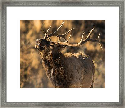 Bull Elk Bugle In Fall Framed Print