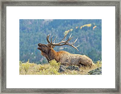 Framed Print featuring the photograph Bull Elk Bugling by Wesley Aston