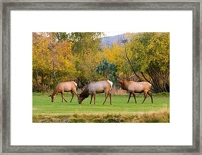Bull Elk  Bugling With Cow Elks - Rutting Season Framed Print by James BO  Insogna