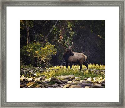 Bull Elk Checking For Competition Framed Print by Michael Dougherty