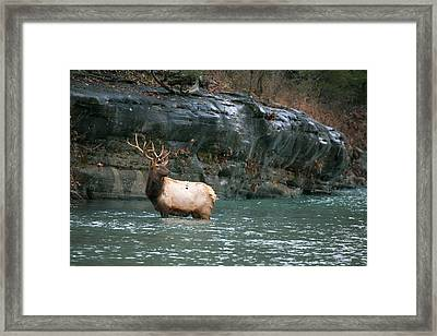 Framed Print featuring the photograph Bull Elk Crossing The Buffalo River by Michael Dougherty