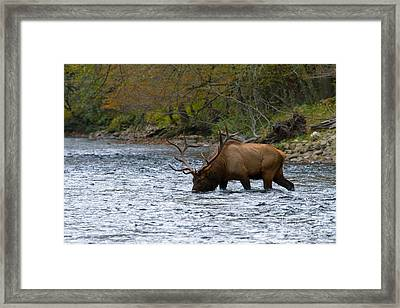 Bull Elk Crossing The River Framed Print