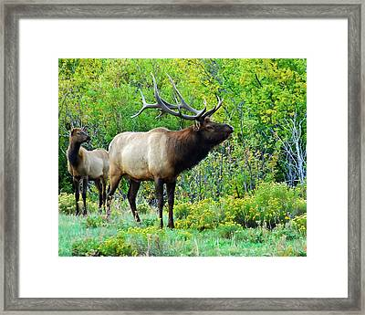Bull Elk Defending Her Honor Framed Print