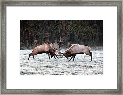 Framed Print featuring the photograph Bull Elk Fighting In Boxley Valley by Michael Dougherty