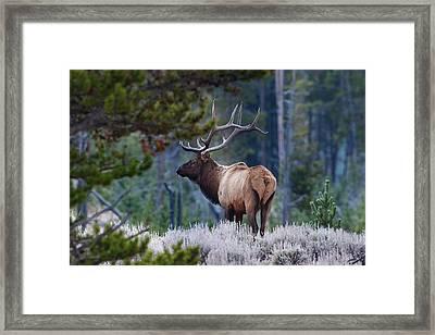 Bull Elk In Forest Framed Print