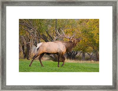 Bull Elk In Rutting Season Framed Print by James BO  Insogna