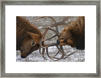 Bull Elk In The Rut-signed Framed Print
