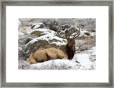 Bull Elk Lounging Framed Print by Scott Nelson