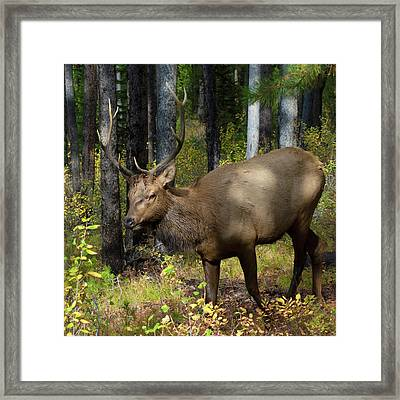 Bull Elk On Signal Mountain Framed Print by Kathleen Bishop