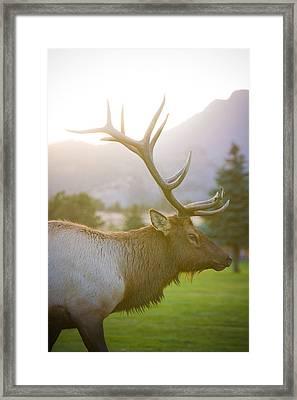 Bull Elk Profile Framed Print
