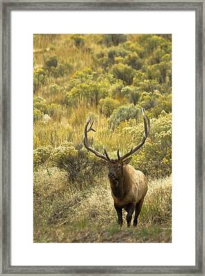 Framed Print featuring the photograph Bull Elk by Roger Mullenhour