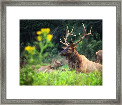 Framed Print featuring the photograph Bull Elk Rutting In Boxley Valley by Michael Dougherty
