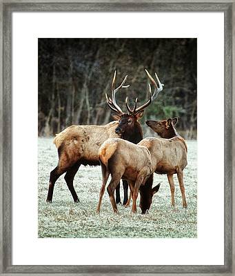 Framed Print featuring the photograph Bull Elk With Cows In The Late Rut by Michael Dougherty