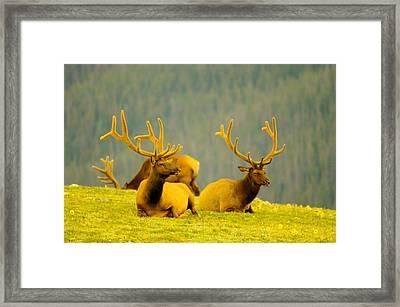 Bull Elks In Velvet Framed Print by Jeff Swan