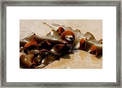 Bull Kelp Framed Print by Lexa Harpell