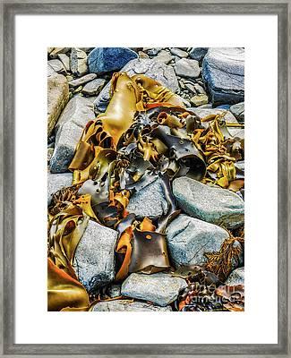 Bull Kelp On Blue Rocks Framed Print by Lexa Harpell